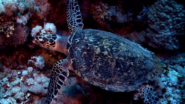 Turtle on Red Sea reef