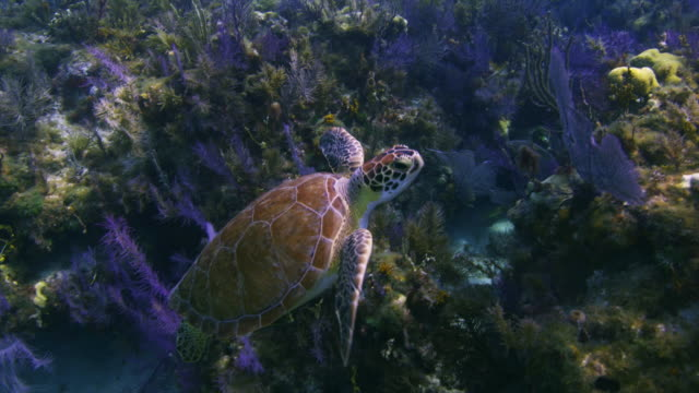 Turtle Swims by colorful corals,  swims up toward surface, Minnow Caves, Key Largo, Florida, Florida Keys.