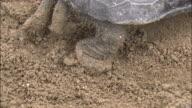 Turtle Treading Down Ground