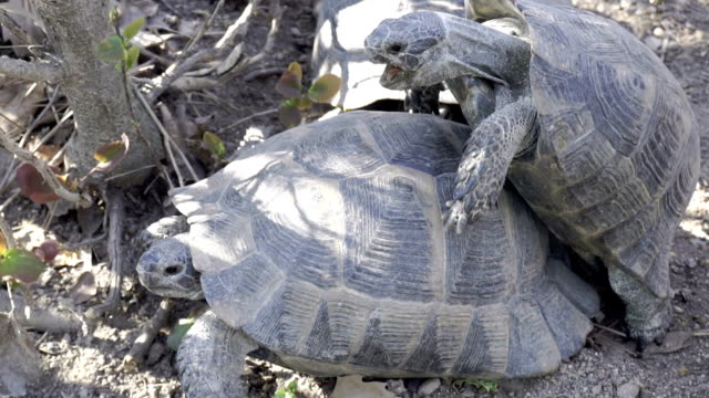 HD: Turtles mating in slow motion