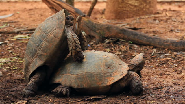 Turtles mating