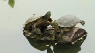 Turtles rest on a timber