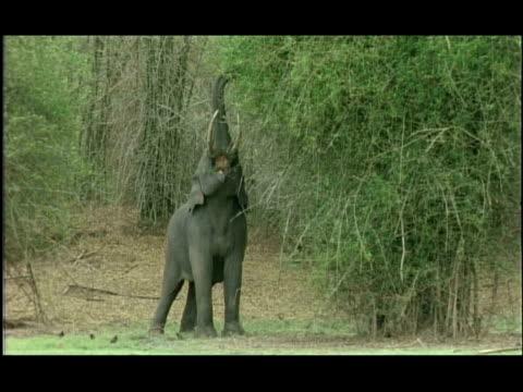 Tusked Asian Elephant (Elephas maximus) stretching up to feed, Kabini, Nagarahole, India