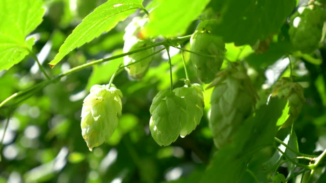 Twig of hops on the plantation in 4K