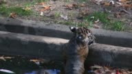 Two 13weekold endangered Sumatran tiger cubs made their media debut at the US National Zoo in Washington by successfully taking a swim reliability...