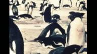 WS Two Adelie penguins one waddle walking other tobogganing on ice XWS Rookery VS Penguins building nest w/ rocks mates on nest aggressive pushing...