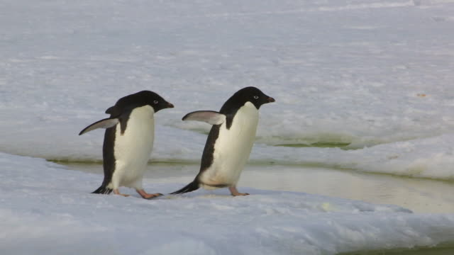 Two Adelie penguins walking on snow