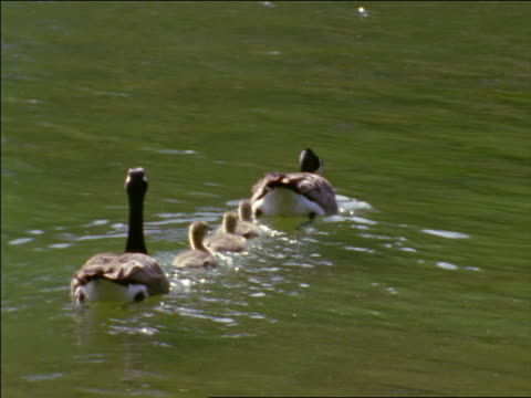 REAR VIEW two adult Canada geese swimming in a line with three goslings in between them