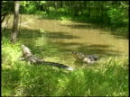 Two alligators with one on grassy bank and other in water expanding body and vibrating water, Brazos Bend State Park, Texas, USA