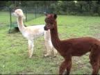 Two alpacas - NTSC