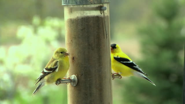 SLO MO MS Two American Goldfinches (Carduelis tristis) at birdfeeder, Chelsea, Michigan, USA