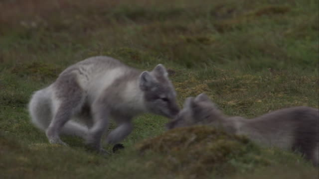 Two Arctic fox cubs pretend to fight on the tundra in Svalbard, Norway.