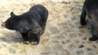 Two Asian black bears, zoo