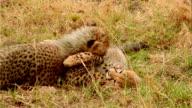 CU TS Two baby cheetahs playing in grass / Masai Mara, Kenya