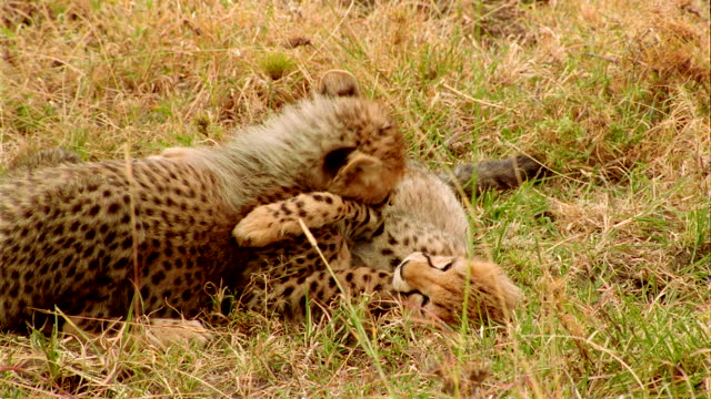 CU TS Two baby cheetahs playing in grass / Masai Mara, Kenya