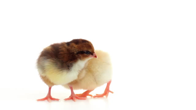 HD two baby chicks isolated on white