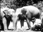 B/W MONTAGE 1940 Two baby elephants, boy (11-12) assisting circus trainer kneeling down unchaining elephant / USA