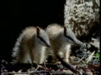 Two baby Numbats stand in forest, Australia