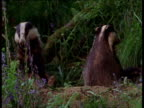 Two badgers sit back and scratch their bellies in bluebell wood, UK