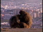 MCU Two Barbary apes sitting on hilltop above city, Baby sat between them