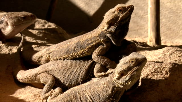 Two Bearded Dragon Lizard/ Etosha National Park/ Namibia