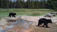 WS POV Two bears cubs in yellowstone park