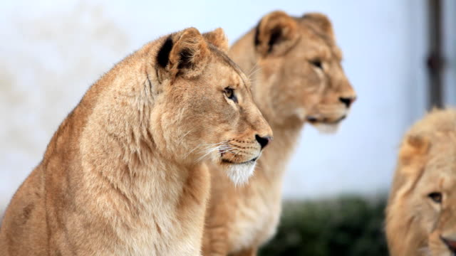 Two big female lions.