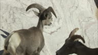 Two bighorn sheep  on rock face