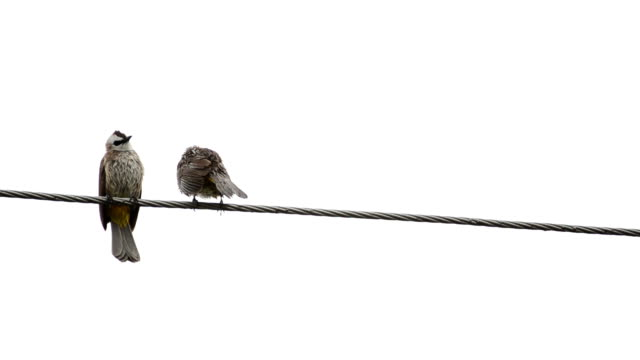 Two birds wet on a wire