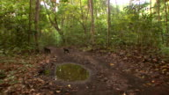 WS Two black macaques crossing track in forest / Sulawesi, Indonesia