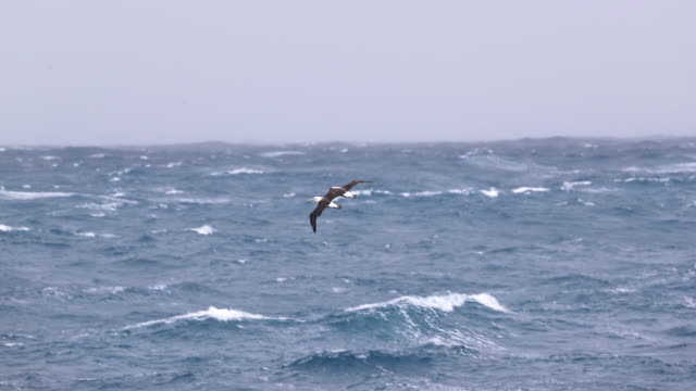 Two Black-browed Albatross fly over stormy Southern Ocean