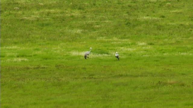 WS Two Blue Cranes standing in green field / Utrecht/ KwaZulu-Natal/ South Africa