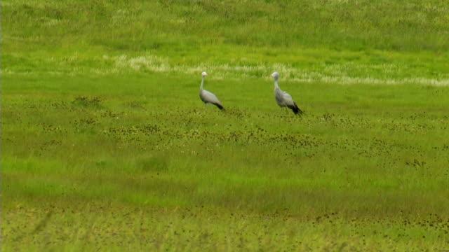 WS Two Blue Cranes standing in green field/ Utrecht/ KwaZulu-Natal/ South Africa