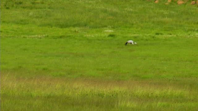 WS Two Blue Cranes walking across green field/ Utrecht/ KwaZulu-Natal/ South Africa