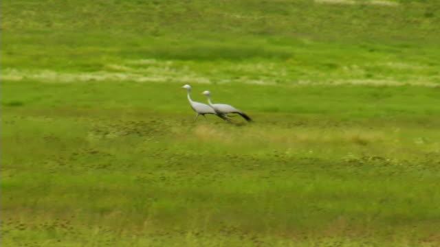 TS WS Two Blue Cranes walking across green field / Utrecht/ KwaZulu-Natal/ South Africa