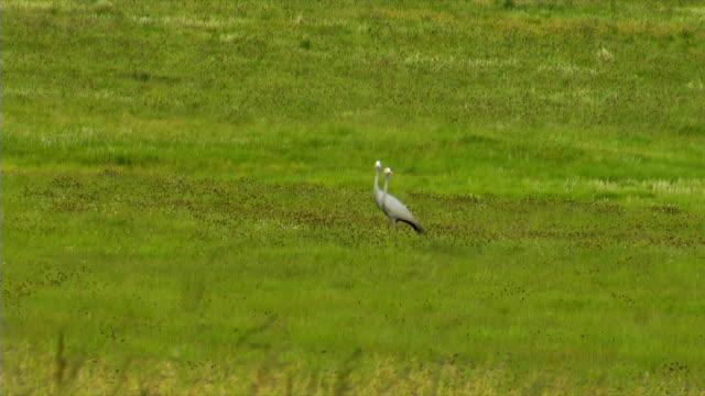 TS WS Two Blue Cranes walking across green field/ Utrecht/ KwaZulu-Natal/ South Africa