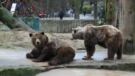 WS Two brown bears relaxing in zoo, playground in background, Berlin, Germany