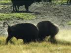 Two buffalo bulls fighting