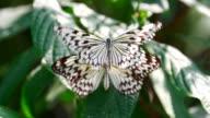 Zwei Schmetterlinge in love von Zeitlupe 240fps