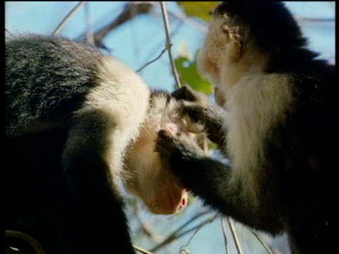 Two Capuchin monkeys preen each other