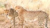 SLO MO LS Two Cheetahs In The Savannah