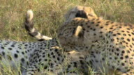 CU, Two cheetahs (Acinonyx jubatus) lying in grass, Botswana