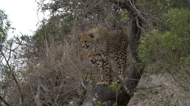 Two cheetahs stranded up a tree by large warthog/ Kruger National Park/ South Africa