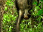 MS, ZO, WS, Two chimps (Pan troglodytes)  in forest, Gombe Stream National Park, Tanzania