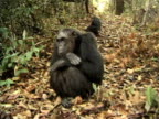 MS, ZI, CU, Two chimps (Pan troglodytes) on path in forest, Gombe Stream National Park, Tanzania