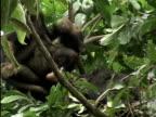 MS, Two chimps (Pan troglodytes) resting on tree, Gombe Stream National Park, Tanzania