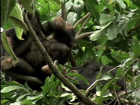 MS, Two chimps (Pan troglodytes) resting on tree, Gombe Stream National Park, Tanzania
