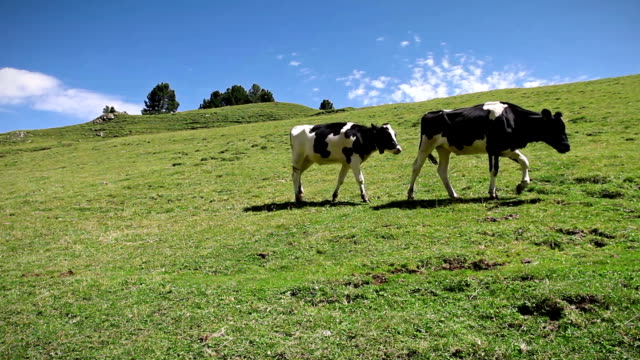 Two Cows Walking over a green field