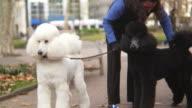 HD: Two cute poodles barking