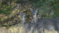 Two deer - Doe and young deer – amidst grasses, looking in direction of camera and coming to attention, Texas Hill Country